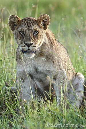 Young lioness sits in the grass