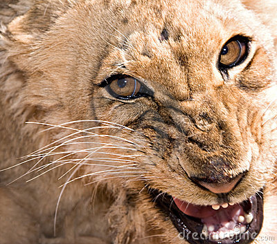 Young lioness snarling