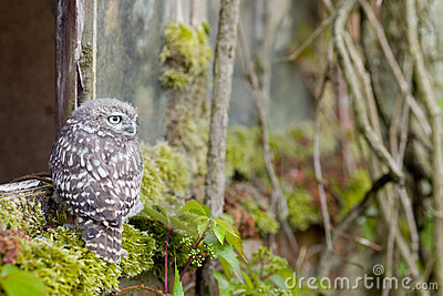 A Young Little Owl in its Natural Habitat