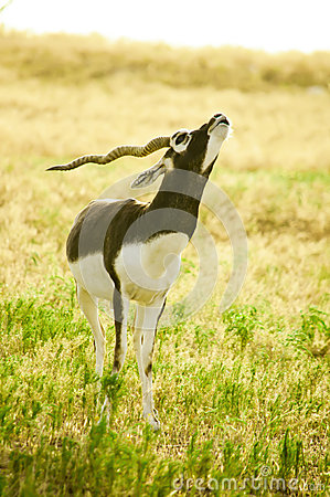 A young male Blackbuck (Antilope cervicapra)