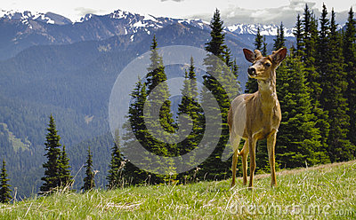 Young Male blacktail deer in mountain meadow