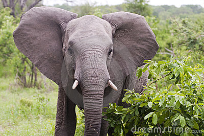 Young male elephant in Kruger park