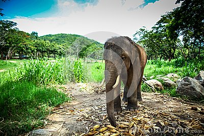 Young male elephant standing in the field