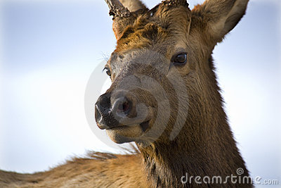 Young Male Elk Very Close Up Montana