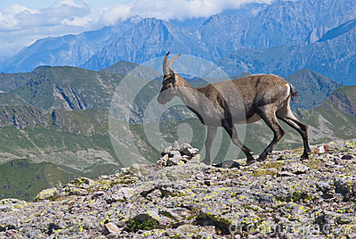 Young male ibex
