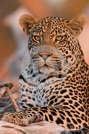 Free Young Male Leopard At Sunset On A Branch Stock Photo - 26197600