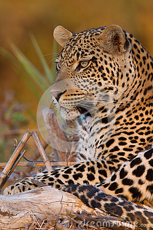 Free Young Male Leopard At Sunset On A Fallen Branch Stock Photos - 26197533