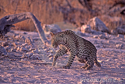 Young male leopard in Namibia, Africa