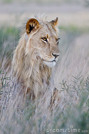 Free Young Male Lion Royalty Free Stock Image - 22635396
