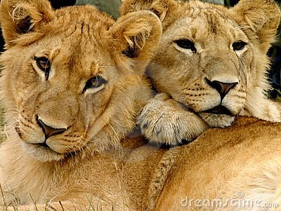 Young male lion brothers