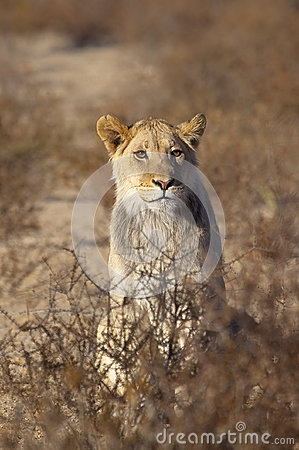 Young male Lion in desert