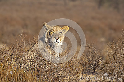 Young male Lion in the desert