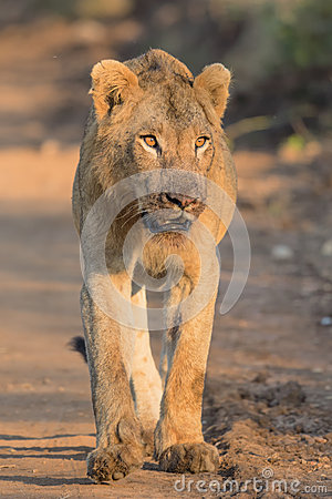 Free Young Male Lion In Kruger National Park Royalty Free Stock Photo - 48576875