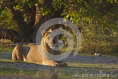 Young male lion laying in early morning sunlight