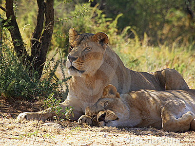 Young male lion and lioness resting in shade
