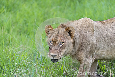 A young male lion in the morning(2)