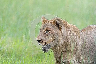 A young male lion in the morning