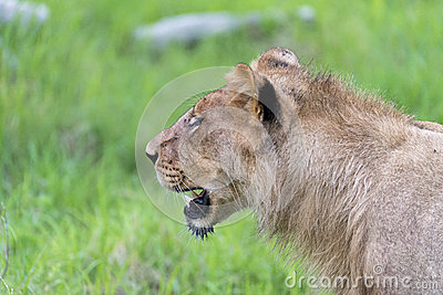 A young male lion in the morning(close up)