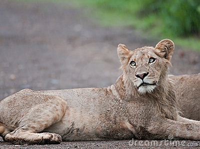 Young male lion in the rain in the African bush