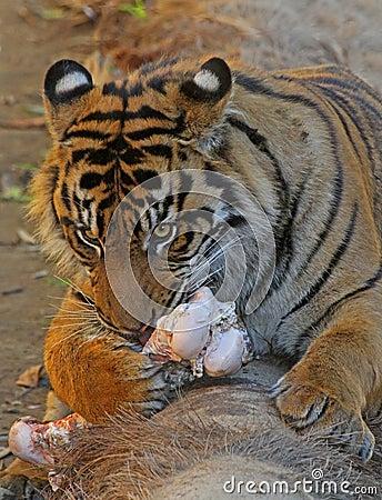 Feeding Tiger