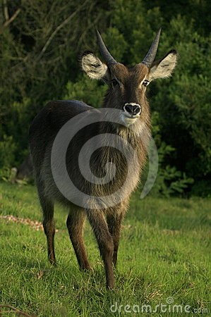 A young male waterbuck in South Africa