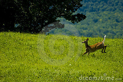 Young male white tail deer running through Vermont