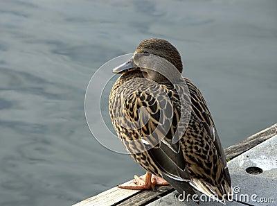 Young mallard duck