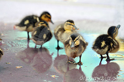 Young Mallard Ducklings