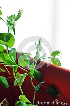 Young mange tout peas plants