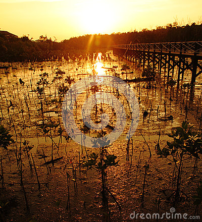 Free Young Mangrove Tree At Sunset Stock Images - 24989654