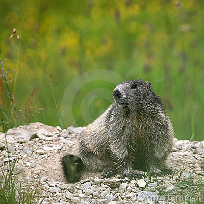 Young marmot sitting