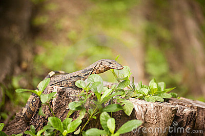 Young Monitor Lizard Varanus