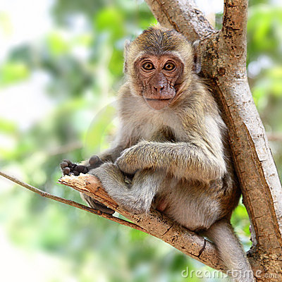 Free Young Monkey Royalty Free Stock Photos - 12454878