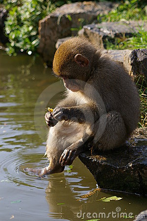 Young monkey sitting by a pond
