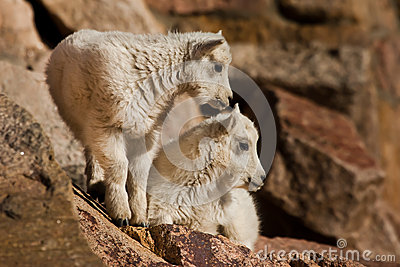 Young Mountain Goats