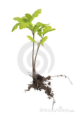 Free Young Oak Tree Royalty Free Stock Photo - 14492125