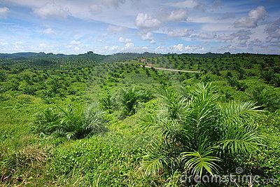 Young Oil Palm Plantation
