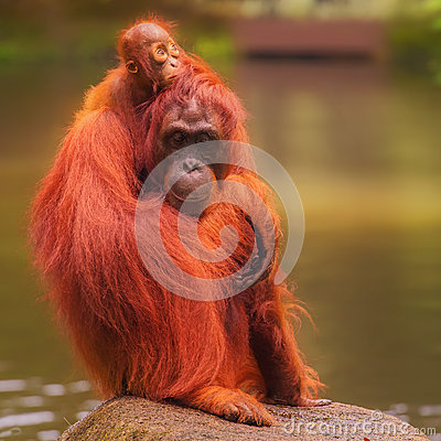 Free Young Orangutan Is Sleeping On Its Mother Stock Images - 58720974