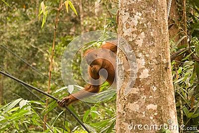 Young orangutan, Semenggoh, Borneo, Malaysia