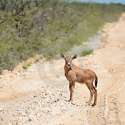 Young oryx antelope