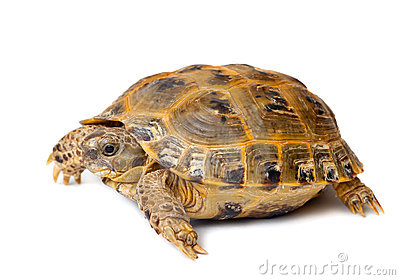 Young overland turtle