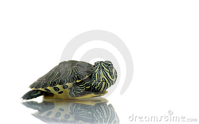 Young painted turtle