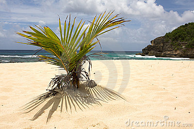 Young palm tree growing on the beach in Guadeloupe