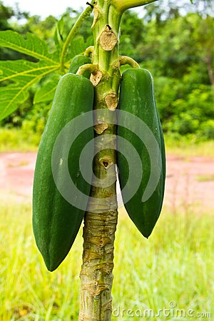 Young papaya