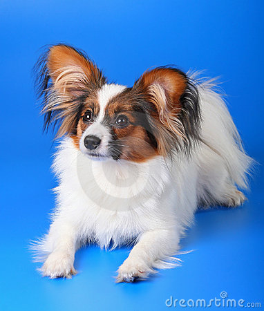 Free Young Papillon Stock Image - 8586191
