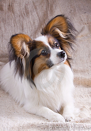 Free Young Papillon Stock Images - 9443444