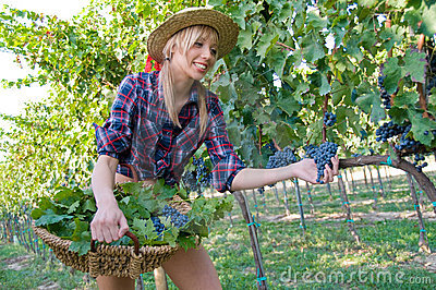 Young peasant grape  harvest among the vineyards