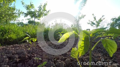 Young peppers seedlings in the organic farm garden stock video
