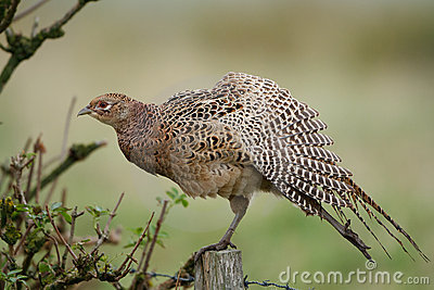 Common Pheasant (Phasi...