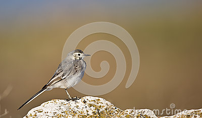 Young Pied Wagtail on a Rock (Motacilla alba)